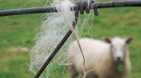 Овцеводство перестает быть выгодным в Австралии. Фото: Jeff Kubina/flickr.com
