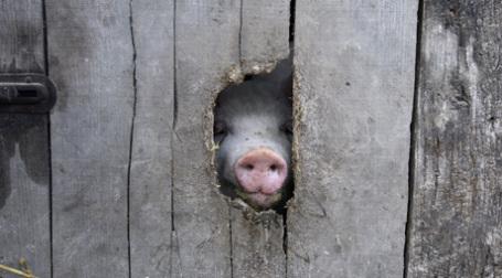 Импорт свинины из Ирландии запрещен. Фото: REUTERS