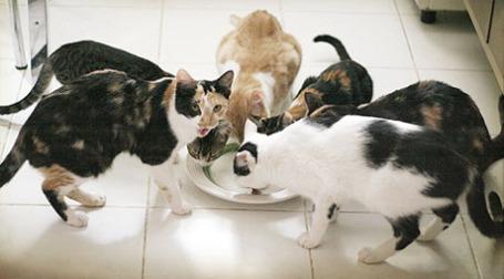 Коты пьют молоко. Фото: giane portal/flickr.com