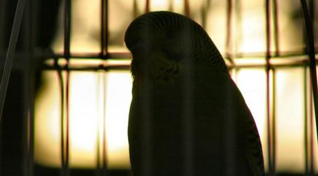 Птица в клетке. Фото: C a f r i n e /flickr.com