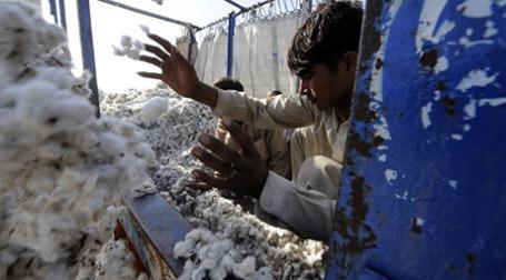 Даже «органический» индийский хлопок часто оказывается генно-модифицированным. Фото: AFP