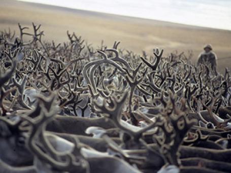 За стадо оленей в количестве 617 шт. сейчас просят всего 3,65 млн руб. Фото: РИА Новости