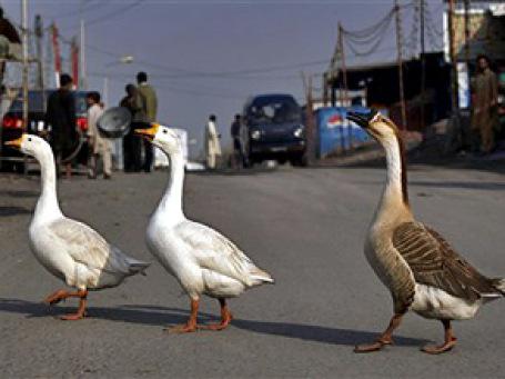 Поведение покупателей на оживленной улице с магазинами малоуспешно — стратегия гусей и уток оказалась лучше. Фото: AP