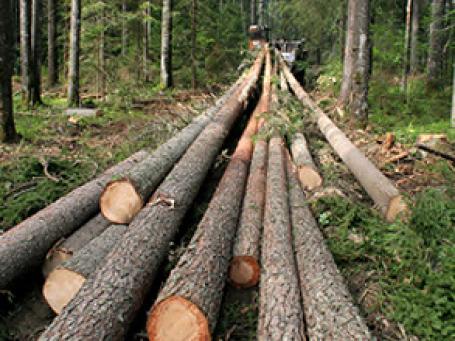 Экологи добились приостановки работ по вырубке деревьев в Химкинском лесу Подмосковья, прогнав рабочих, не имевших разрешительных документов. Фото: PhotoXPress