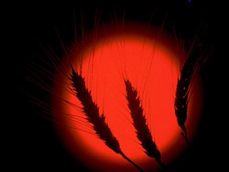 Урожай зерна в России в 2010 году, по последним подсчетам Министерства сельского хозяйства, составит от 70 до 75 млн тонн зерна. Фото: РИА Новости