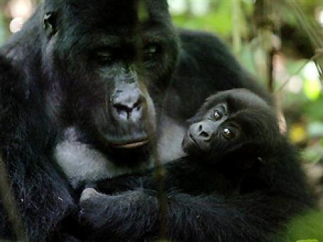 Работа британских пиарщиков увенчалась успехом: теперь Руанда в массовом сознании ассоциируется с симпатичными гориллами, а не с горами человеческих трупов. Фото: AP