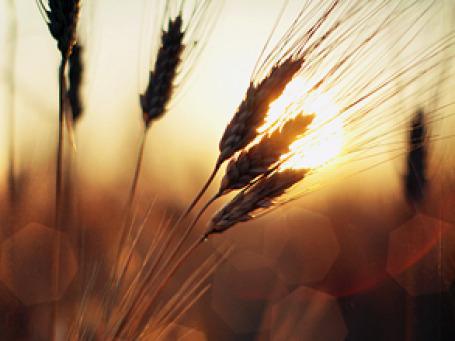 Ученым впервые удалось расписать генетический код пшеницы, который в пять раз длиннее человеческого. Фото: K.Hurley/flickr.com