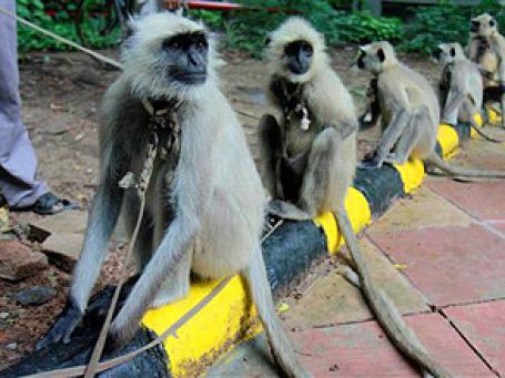 Туристов и спортсменов, прибывающих в Дели на Игры Содружества, будут охранять дрессированные обезьяны лангуры. Фото: AP