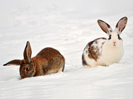 Казалось бы, они такие безобидные, эти кролики. Фото: Tambako the Jaguar/flickr.com