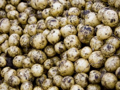 Скорость роста цен на картошку оказалась в 8 раз выше темпов увеличения общей инфляции, которая с 1 по 24 января составила 1,8%. Фото: РИА Новости