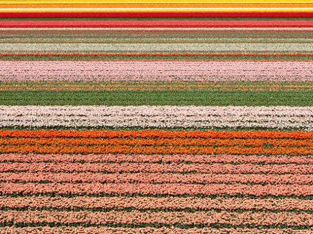 Повсюду вокруг Лиссе — бескрайние поля тюльпанов. Фото: Алексей Корольчук/BFM.ru