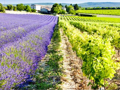 Две визитные карточки региона Рона-Альпы в одной: поля цветущей лаванды соседствуют с виноградниками.  Фото: PhotoXPress