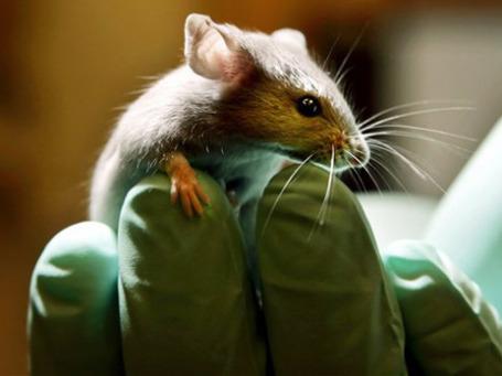 Дефицит трансгенных мышей в британских лабораториях грозит остановить создание важных лекарств, в частности, для сердечно-сосудистых заболеваний и рака. Фото: AP