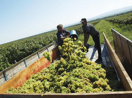 Сбор винограда в Грузии. Фото: Reuters