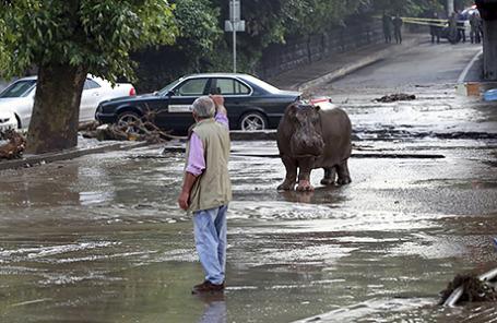 Бегемот, сбежавший из городского зоопарка, на затопленной улице в Тбилиси, Грузия. 14 июня 2015