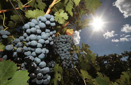 Уборка винограда в Крыму.
