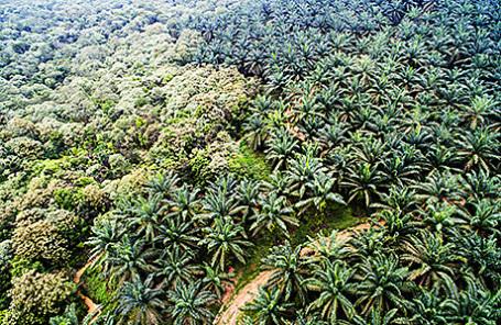 Плантация масличных пальм.