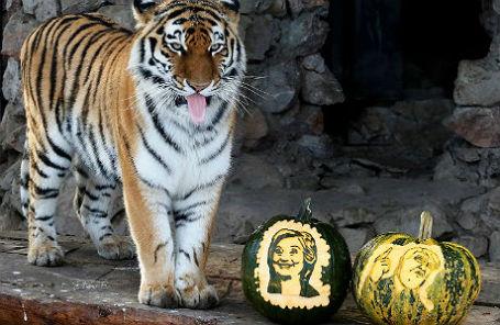 Амурская тигрица Юнона в красноярском зоопарке «Роев ручей» выбирает между тыквами с изображениями кандидатов в президенты США Хиллари Клинтон и Дональда Трампа.