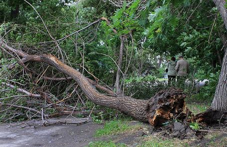 Неменее 60 деревьев повалено в столицеРФ из-за ветра