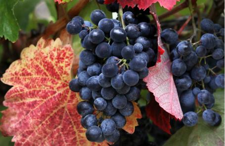 Сбор винограда в агрофирме «Черноморец» холдинга «Инкерман» в Крыму.