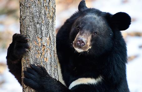 Гималайский медведь в парке медведей Приморского сафари-парка.