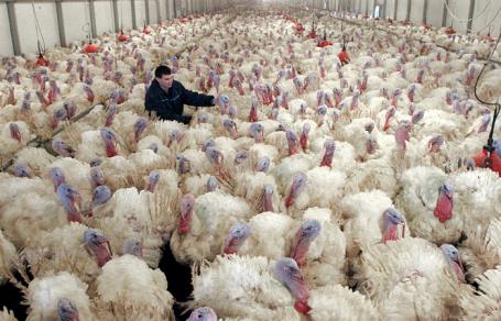 Работа птицефабрики по производству мяса индейки компании «Евродон».