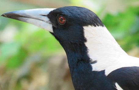 Ворона-свистун.