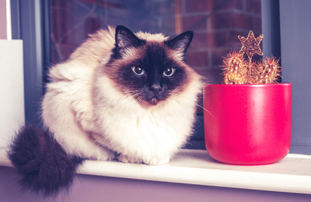 Бирманская кошка.