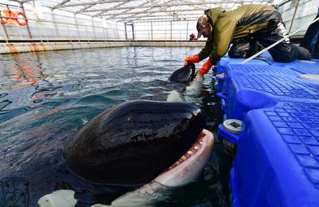 Косатки в Центре адаптации морских животных в бухте Средняя. Приморский край.