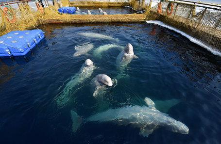 Белухи и косатки в Центре адаптации морских животных в бухте Средняя в Приморском крае.