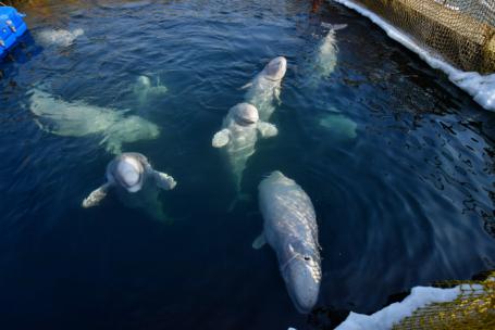 Белухи и косатки в Центре адаптации морских животных в  бухте Средняя.
