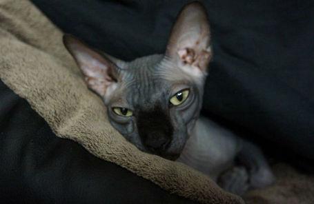 Кот породы канадский сфинкс Чуча.