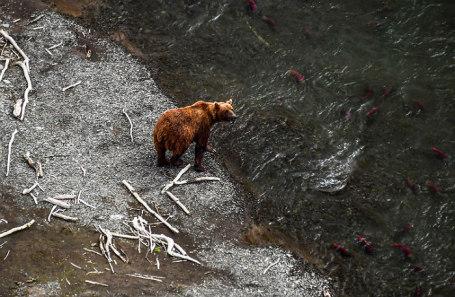 Нерест нерки в реке Камчатке.