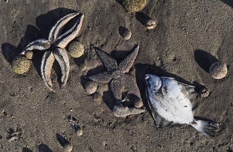 Массовый выброс морских животных на побережье Камчатки.