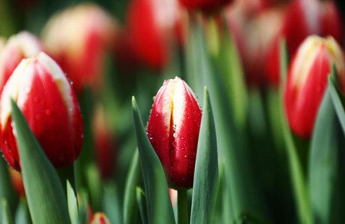 Купить тюльпаны в подмосковных хозяйствах доставка цветов в белоруссию из россии