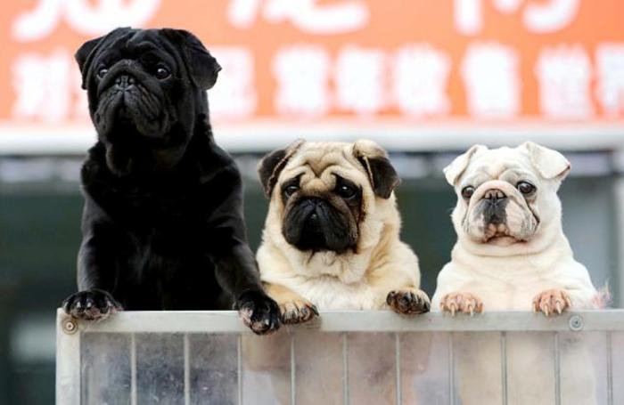 Собаки на ярмарке домашних животных, Хуайань, Китай.
