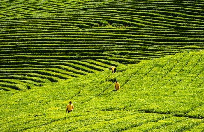 Сбор чая на плантации Мацестинской чайной фабрики в Хостинском районе Сочи, Россия.