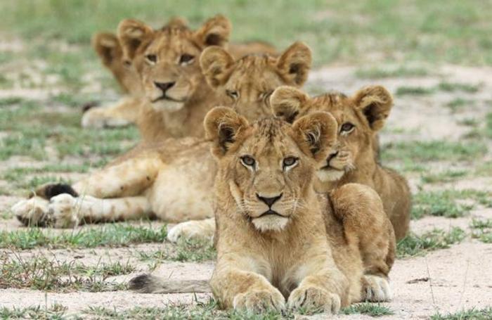 Львы в Национальном парке Крюгера в ЮАР.