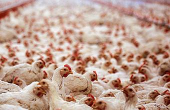 Российская курица на арабском столе. На птицефабрики едет инспекция из ОАЭ