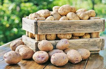 Картошка будет своей: семеноводство поддержат рублем