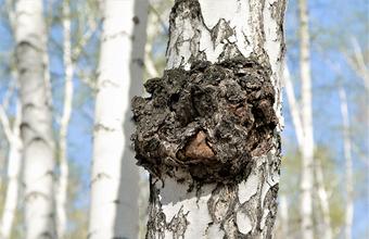 «Русское сокровище». В Китае ажиотаж вокруг древесного гриба-паразита чаги