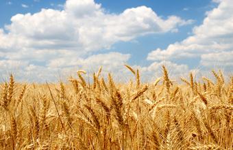 В Аргентине начнут выращивать генно-модифицированную пшеницу