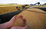 Цены на пшеницу скатились к 10-летнему минимуму