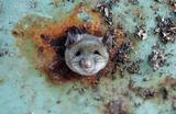 Крыса застряла в мусорном ведре в Бруклине, Нью-Йорк, США.