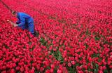 Фермер собирает тюльпаны с поля в Ден Хелдерине, Нидерланды.