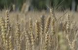 Bloomberg предрекает РФ потерю статуса мирового лидера по экспорту пшеницы