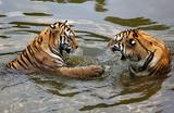 Сибирские тигры в жаркий день в зоопарке тигров в Хуаншане, провинция Аньхой, Китай.