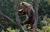 Бурый медведь в приюте для медведей в Березовке, Украина.