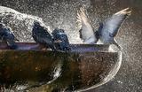 Голуби в фонтане в Киеве.