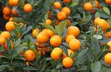 Абхазские вредители не оставили россиянам мандаринов?